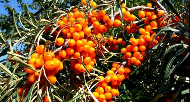 Облепиха - заготовка на зиму полезной и вкусной ягоды