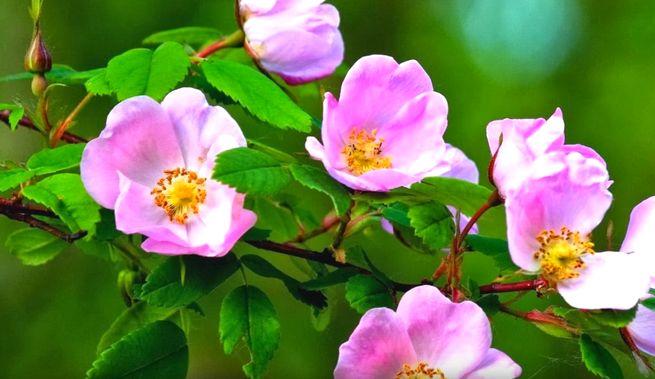 Лепестки цветов шиповника
