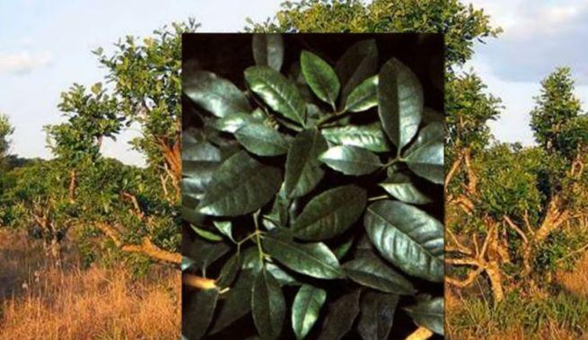 из измельченных листьев падуба парагвайского